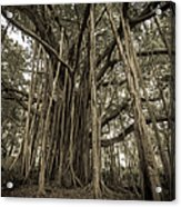 Old Banyan Tree Acrylic Print by Adam Romanowicz