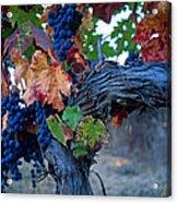 Old Vine Acrylic Print by Kathy Yates