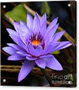 One Purple Water Lily Acrylic Print by Carol Groenen