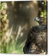 Only An Eagle Can Be As Sharp As An Eagle Acrylic Print by Munir El Kadi