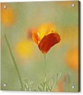 Orange Crush - California Poppy Acrylic Print by Kim Hojnacki