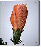 Orange Hibiscus Lax 3 Acrylic Print by Deborah Smolinske