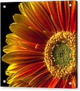 Orange Yellow Mum Close Up Acrylic Print by Garry Gay