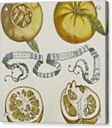 Oranges Acrylic Print by Cornelis Bloemaert