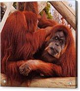 Orangutans Grooming Acrylic Print by DiDi Higginbotham