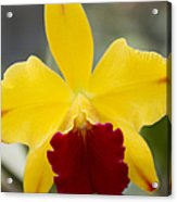 Orchid Beauty - Cattleya - Pot Little Toshie Mini Flares Mericlone Hawaii Acrylic Print by Sharon Mau