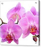 Orchid Flowers II - Pink Acrylic Print by Natalie Kinnear