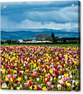Oregon Tulip Farm - Willamette Valley Acrylic Print by Gary Whitton