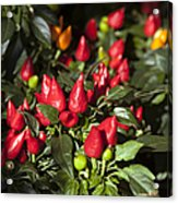Ornamental Peppers Acrylic Print by Peter French
