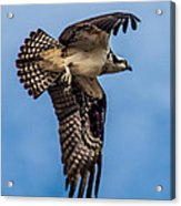 Osprey Flying Away Acrylic Print by Robert Bales