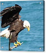 Our Finest American Bald Eagle Acrylic Print by Mitch Spillane