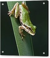 Pacific Tree Frog Pseudacris Regilla Acrylic Print by Jack Goldfarb