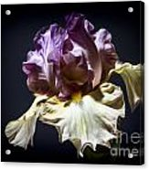 Painted Iris Acrylic Print by Holly Martin