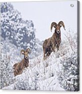 Pair Of Winter Rams Acrylic Print by Mike  Dawson