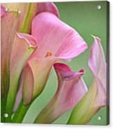Pale Pink Blush Acrylic Print by Fraida Gutovich