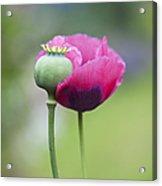 Papaver Somniferum Poppy And Seed Pod Acrylic Print by Tim Gainey