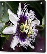 Pasionfruit Flower Acrylic Print by Jeffrey Lee