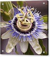 Passiflora Caerulea Acrylic Print by Caitlyn  Grasso
