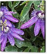 Passion Vine Flower Rain Drops Acrylic Print by Rich Franco