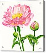Peach Colored Peony With Buds Acrylic Print by Sharon Freeman