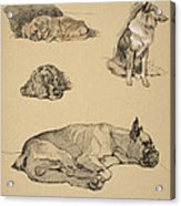 Peke, Collie, Spaniel And German Boxer Acrylic Print by Cecil Charles Windsor Aldin