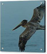 Pelican Acrylic Print by Sebastian Musial