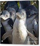 Penguins Acrylic Print by Steven Ralser