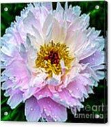 Peony Flower Acrylic Print by Edward Fielding