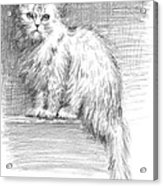 Persian Cat Acrylic Print by Sarah Parks