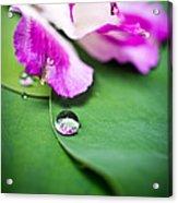 Peruvian Lily Raindrop Acrylic Print by Priya Ghose