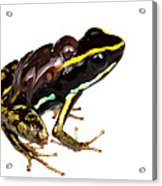 Phyllobates Lugubris With Tadpoles Acrylic Print by JP Lawrence