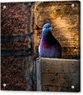 Pigeon Of The City Acrylic Print by Bob Orsillo