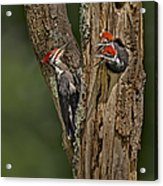 Pilated Woodpecker Family Acrylic Print by Susan Candelario