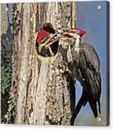 Pileated Woodpecker And Chick Acrylic Print by Susan Candelario