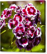 Pink And White Carnations Acrylic Print by Omaste Witkowski