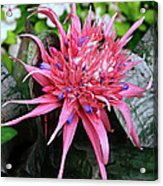 Pink Bromeliad Acrylic Print by Andee Design