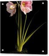 Pink Diamond Amaryllis Acrylic Print by Claudio Bacinello