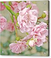 Pink Fairy Roses Acrylic Print by Jennie Marie Schell