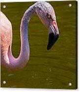 Pink Flamingo Acrylic Print by Garry Gay