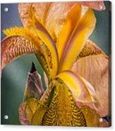 Pink Iris Acrylic Print by Eduard Moldoveanu