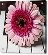 Pink Mum On Piano Keys Acrylic Print by Garry Gay