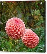 Pink Orange Dahlia Flowers Art Prints Gardens Acrylic Print by Baslee Troutman