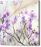 Pink Rhododendron In Spring Acrylic Print by Elena Elisseeva