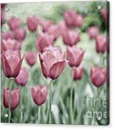 Pink Tulip Field Acrylic Print by Frank Tschakert