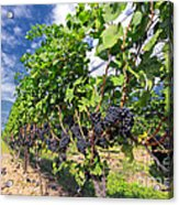 Pinot Noir Grapes In Niagara Acrylic Print by Charline Xia