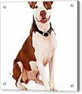 Pit Bull Dog With Happy Expression Acrylic Print by Susan Schmitz