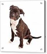 Pit Bull Puppy Black And White Acrylic Print by Susan Schmitz
