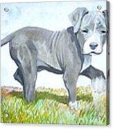 Pitbull Puppy Acrylic Print by Martial Martin