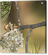 Plumbeous Vireo Begging Arizona Acrylic Print by Tom Vezo