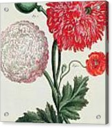 Poppy Acrylic Print by Basilius Besler